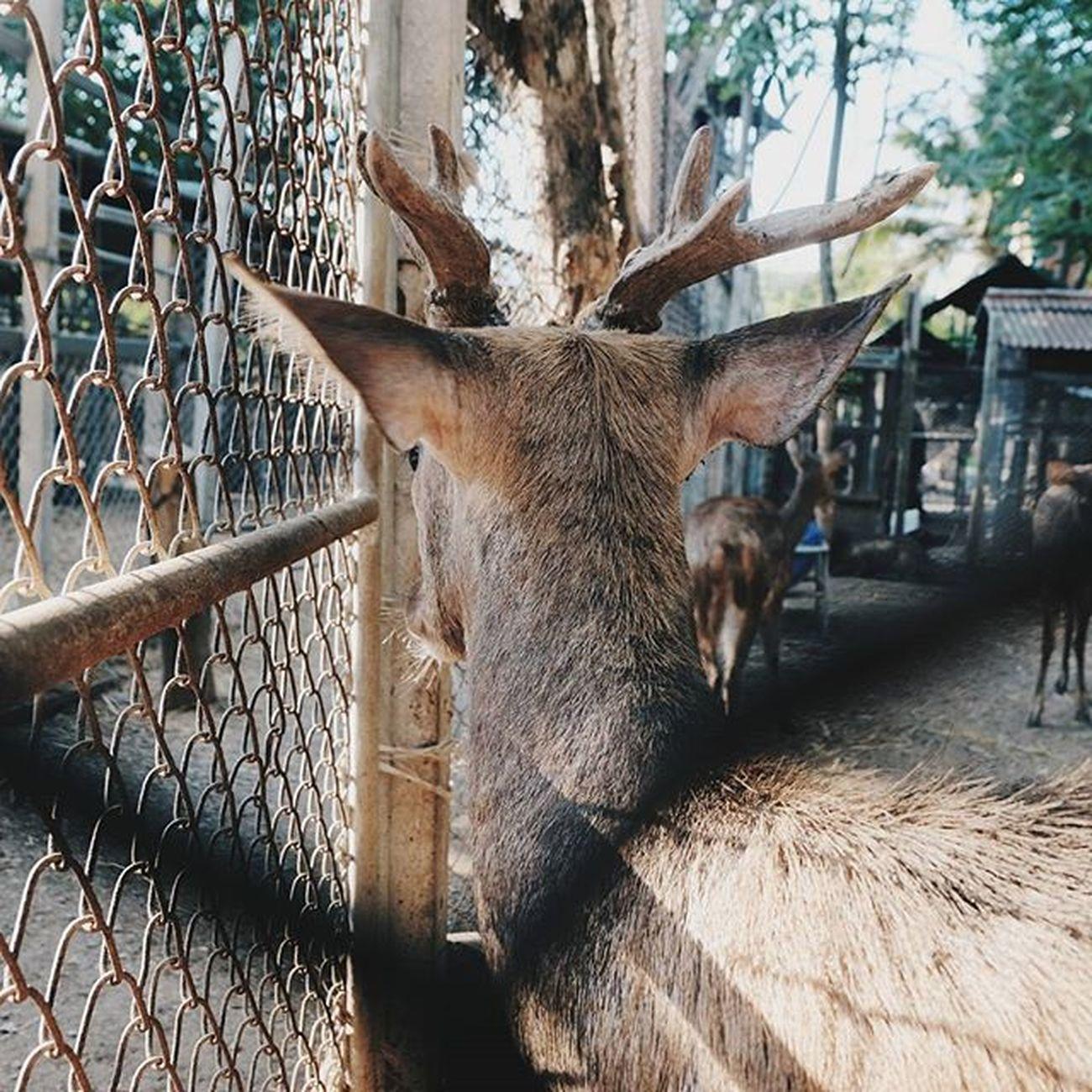 ... . . . หลังเขา . . . . Adayinthailand Vscothai Vscocamgram Vscocamthailand Vscogood Xiaomi Animal Deer Horns Picoftheday Picture Zoo Wildlife