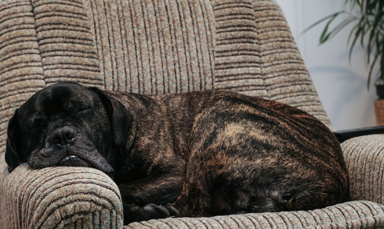Animal Themes Boring Movie Close-up Couch Cushion Day Dog Domestic Animals Home Interior Indoors  Lazy Dog Mammal Mastiff On Couch Mastiff On Sofa No People Nothing On TV One Animal Pets Portrait Pug Relaxation Resting Dog Sleeping Dog SOFA TIME Watching Tv