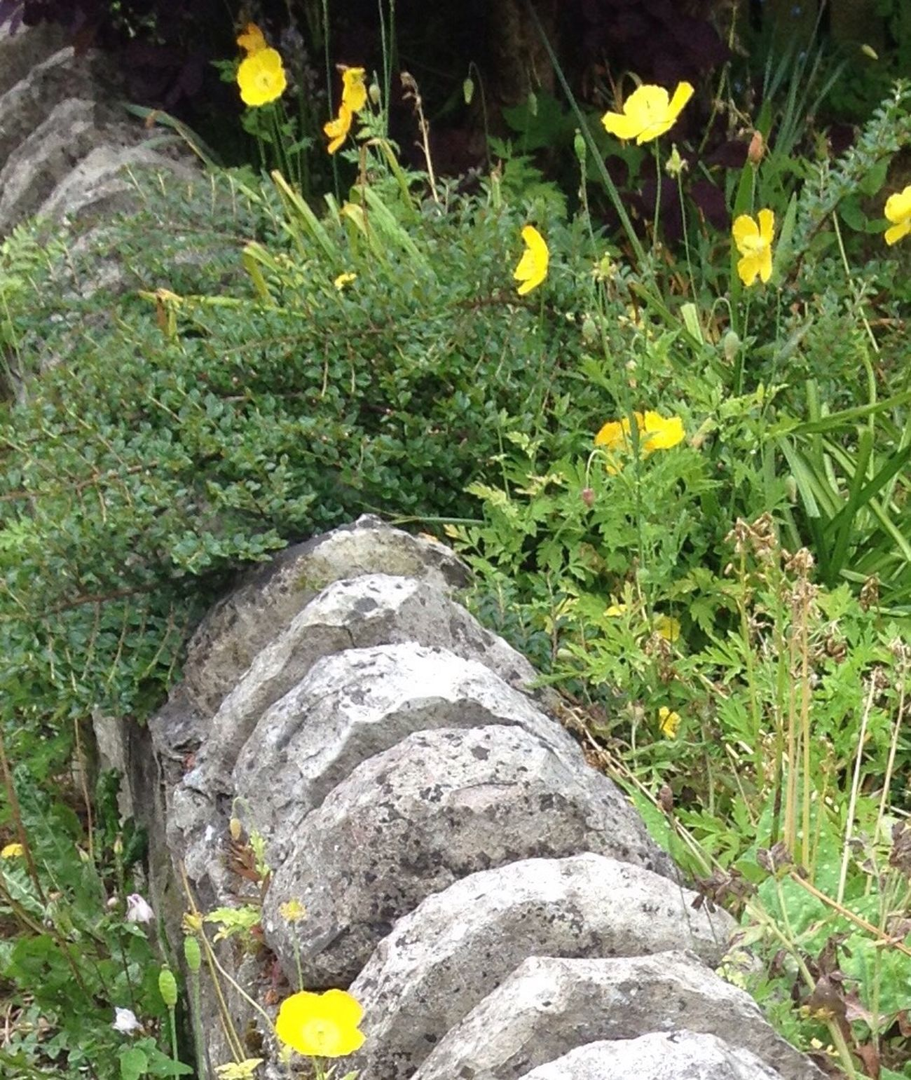 Poppies  Yellow Flowers Wall Yorkshire
