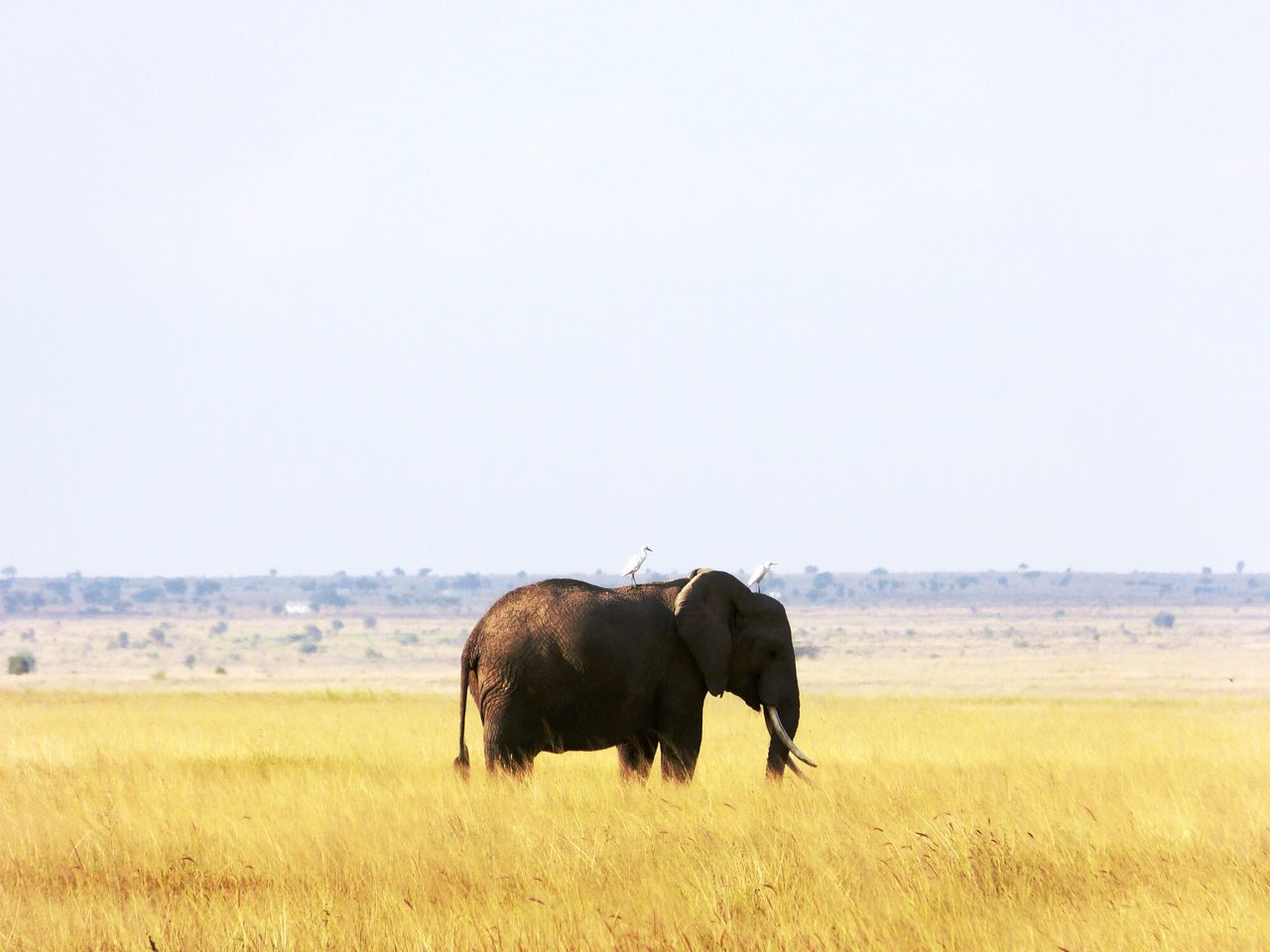 Beautiful stock photos of elephant, African Elephant, Animal Themes, Animals In Captivity, Beauty In Nature