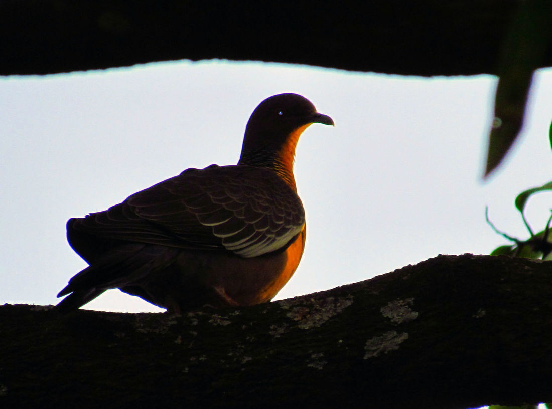Rolinha-roxa. Birds Bird Photography Birds_collection Birds Of EyeEm  Silhouette Sillouette Birdwatching EyeEm Birds EyeEm Nature Lover Turtledove