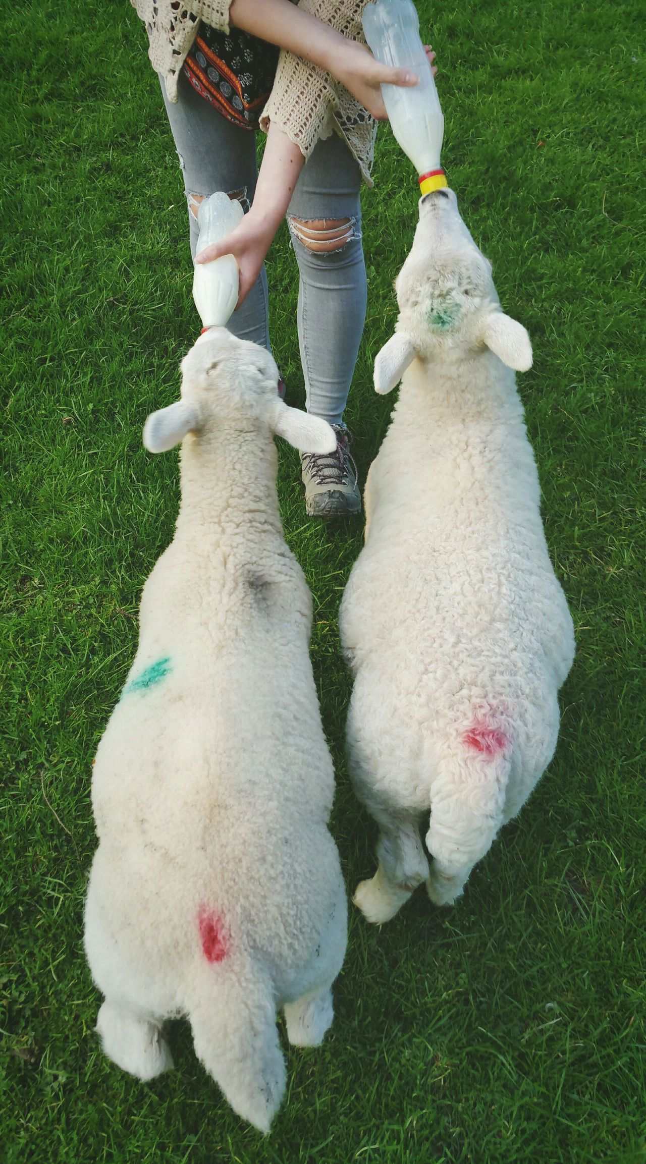 ... hungry Lambs ... Feeding Animals Sheep Farm Milk Baby Animals Wales Just Visiting Daughter Farmlife Rural Scene барашки ягнята овечки Ovelhas Ovelles Ovelhinhas
