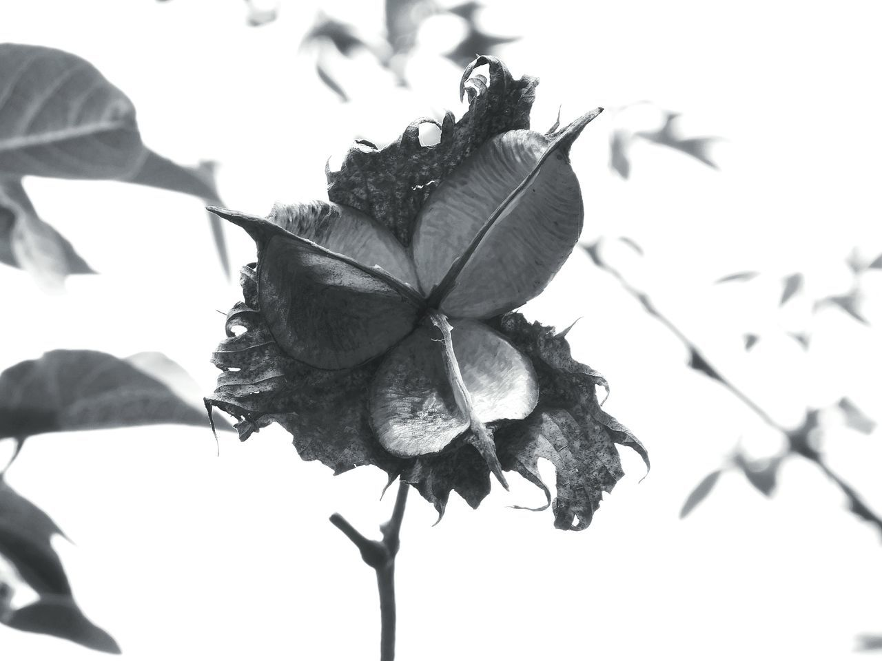 black and white Black And White Collection  Purity Cottage Life Cotton Art Original Art Antique Beautiful Single Object Horticulture Wildlife & Nature Nature Shadows Nationalpark Unique Love Expression Beautiful Creation Leaf 🍂 Cotton Flower Cottontail Cotton