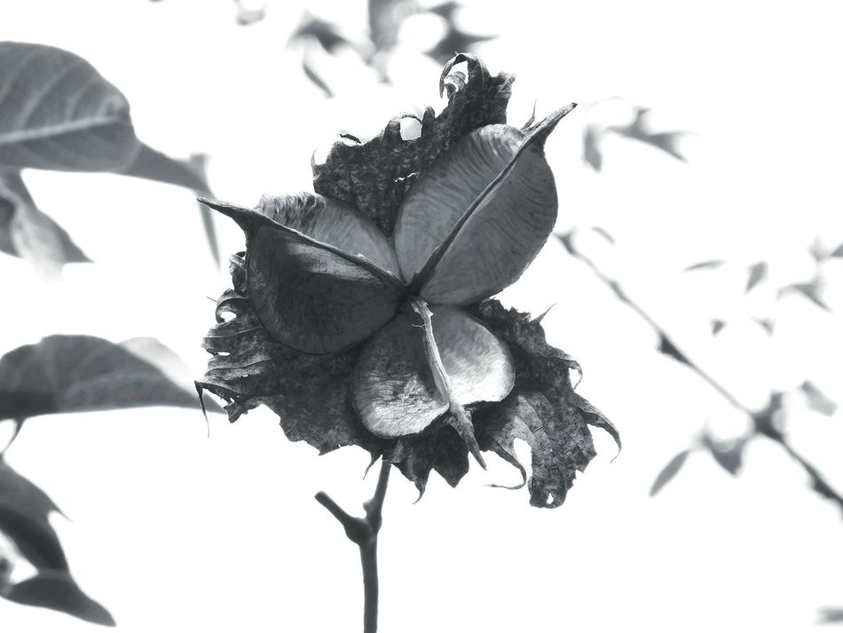 black and white Black And White Collection  Purity Cottage Life Cotton Art Original Art Antique Beautiful Single Object Horticulture Wildlife & Nature Nature Shadows Nationalpark Unique Love Expression Beautiful Creation Leaf 🍂 Cotton Flower Cottontail Cotton Black And White Friday