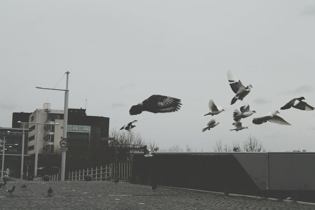 Flying Animal Themes No People Bird Outdoors Sky Animal Photography Birds Flying Bird Flying Away Black Color Beutiful  Pidgeons Pidgeon