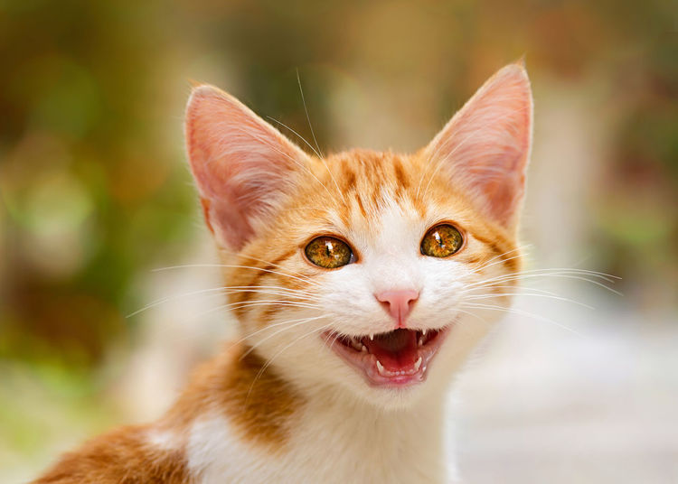 A lovely smiley baby cat with wonderful eyes miaows and says hello Funny Furry Friends Meow Miaow Pet Portraits Animal Baby Animals Baby Cat Cat Caterwaul Cats Cute Cats Eyes Face Feline Portraits Kitty Cat Little Cat Tiger Meowy Mew Open Mouth Pet Portrait Purr Smiley Talking