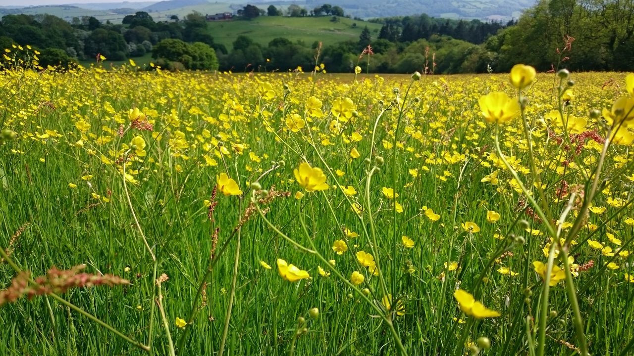 No Filter, No Edit, Just Photography Fieldscape Fields Of Gold Buttercups Wales You Beauty Countryside Life No Filter No Edit Just Reality Free Edits Countryside Summer Vibes Field Of Flowers Wild Flowers Fields And Sky Field Of Dreams Countryside Glamour Meadow Flowers Meadowsinthemountains Meadow Is Precious  Meadowview The Great Outdoors - 2017 EyeEm Awards