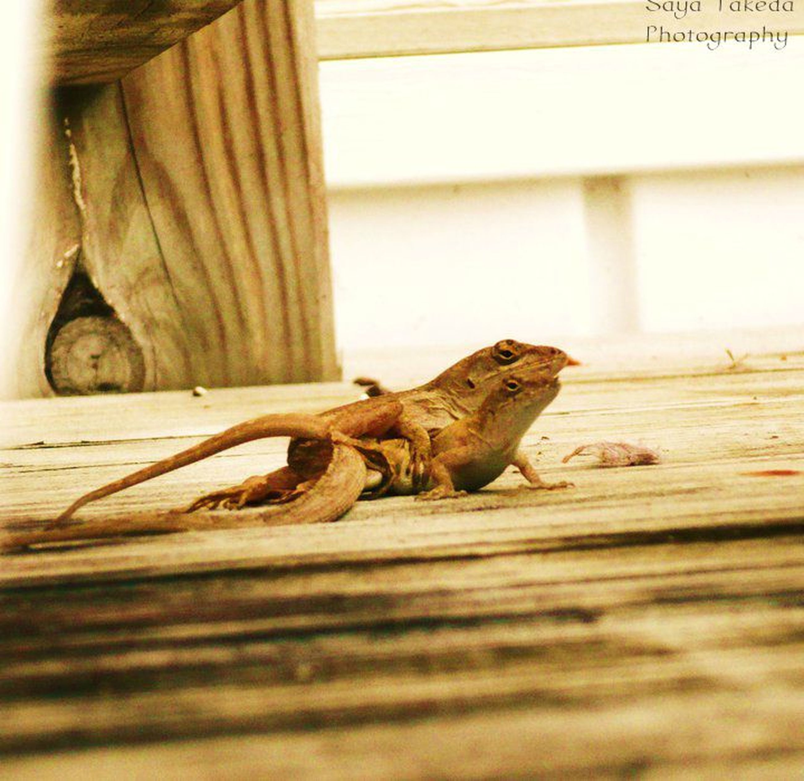 animal themes, one animal, wood - material, mammal, selective focus, wood, domestic animals, wooden, wildlife, plank, brown, indoors, animals in the wild, day, zoology, relaxation, side view, close-up, no people, sleeping