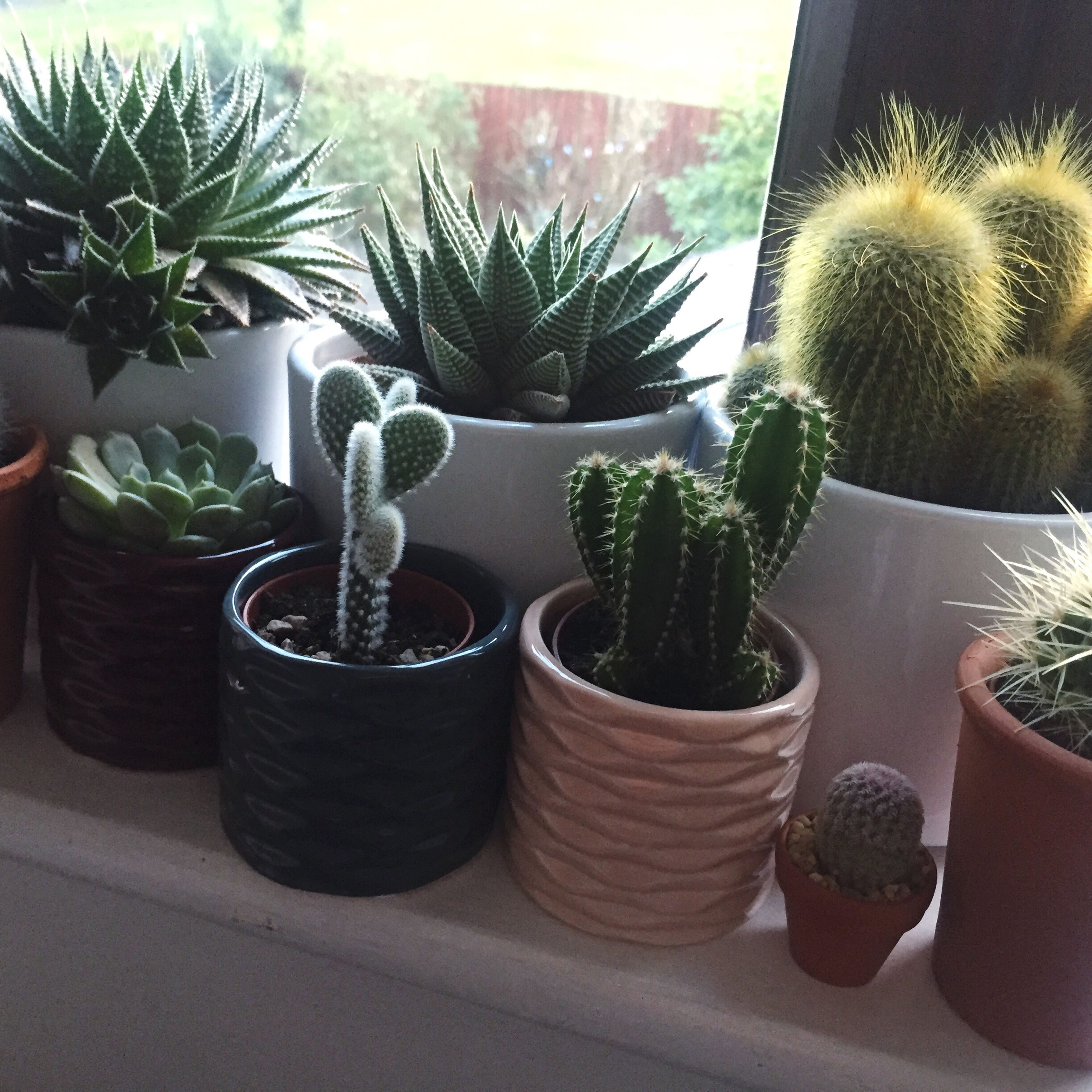 plant, potted plant, growth, cactus, thorn, indoors, spiked, sharp, houseplant, flower pot, natural pattern, succulent plant, close-up, nature, window sill, needle - plant part, variation, day, growing, pot plant, focus on foreground, botany, green, arid climate, plants, house plant, no people