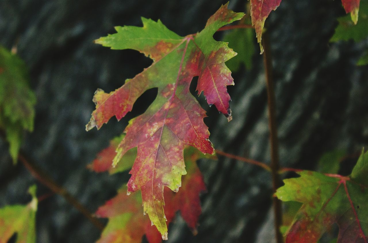 Leaf Close-up Red No People Nature Tree Multi Colored Growth Denvertography Beauty In Nature Denver Colorado