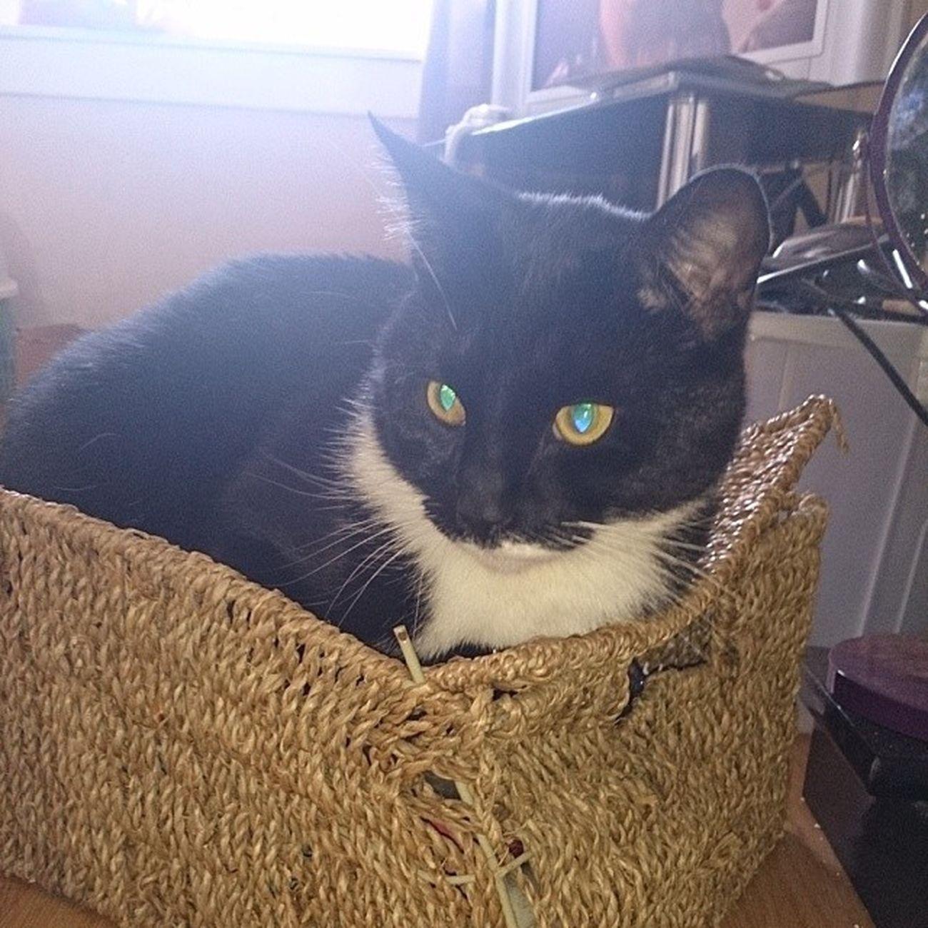 Basket case Optimus Catsofinstagram Catlady Catsinboxes