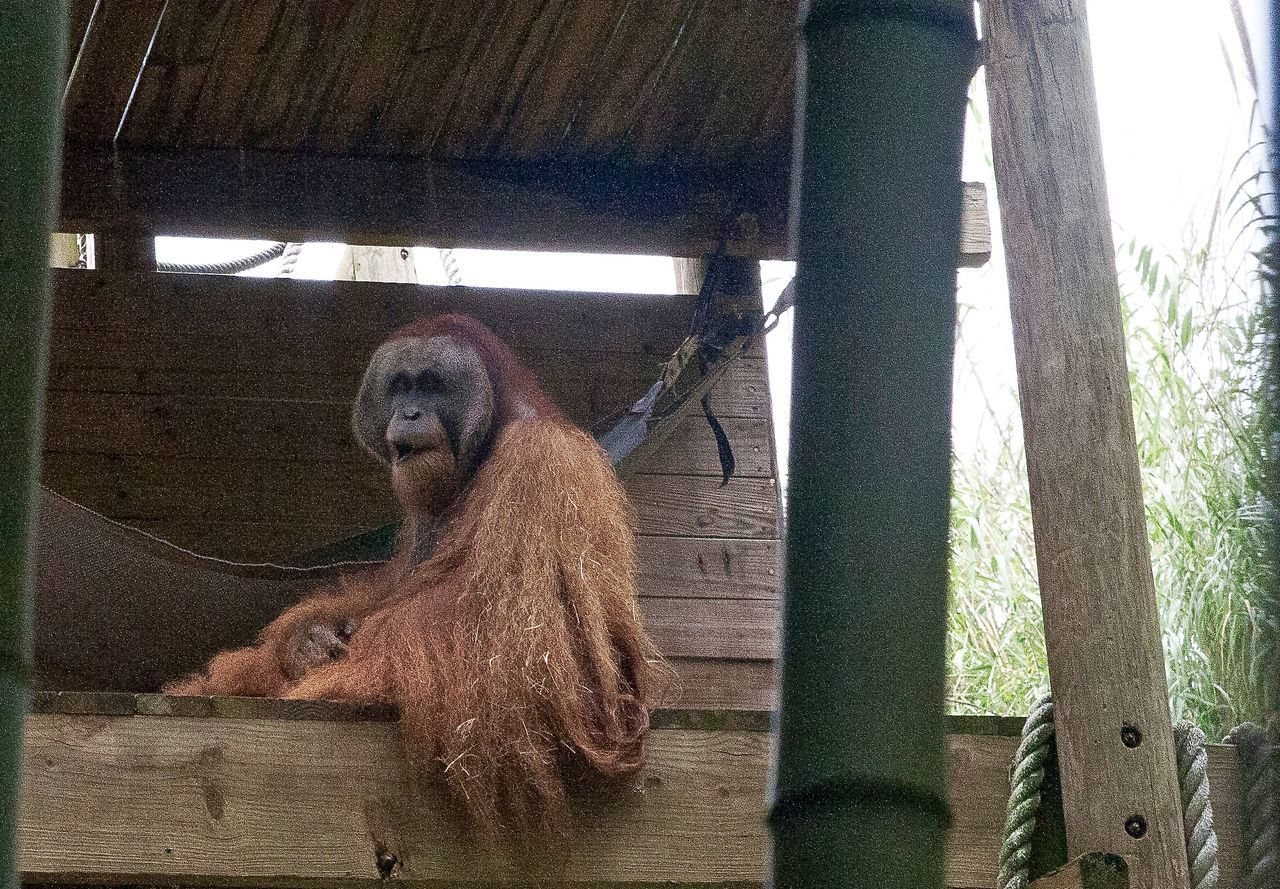 mammal, monkey, animal themes, primate, animals in the wild, orangutan, one animal, wood - material, day, no people, animal wildlife, outdoors, tree, nature, close-up