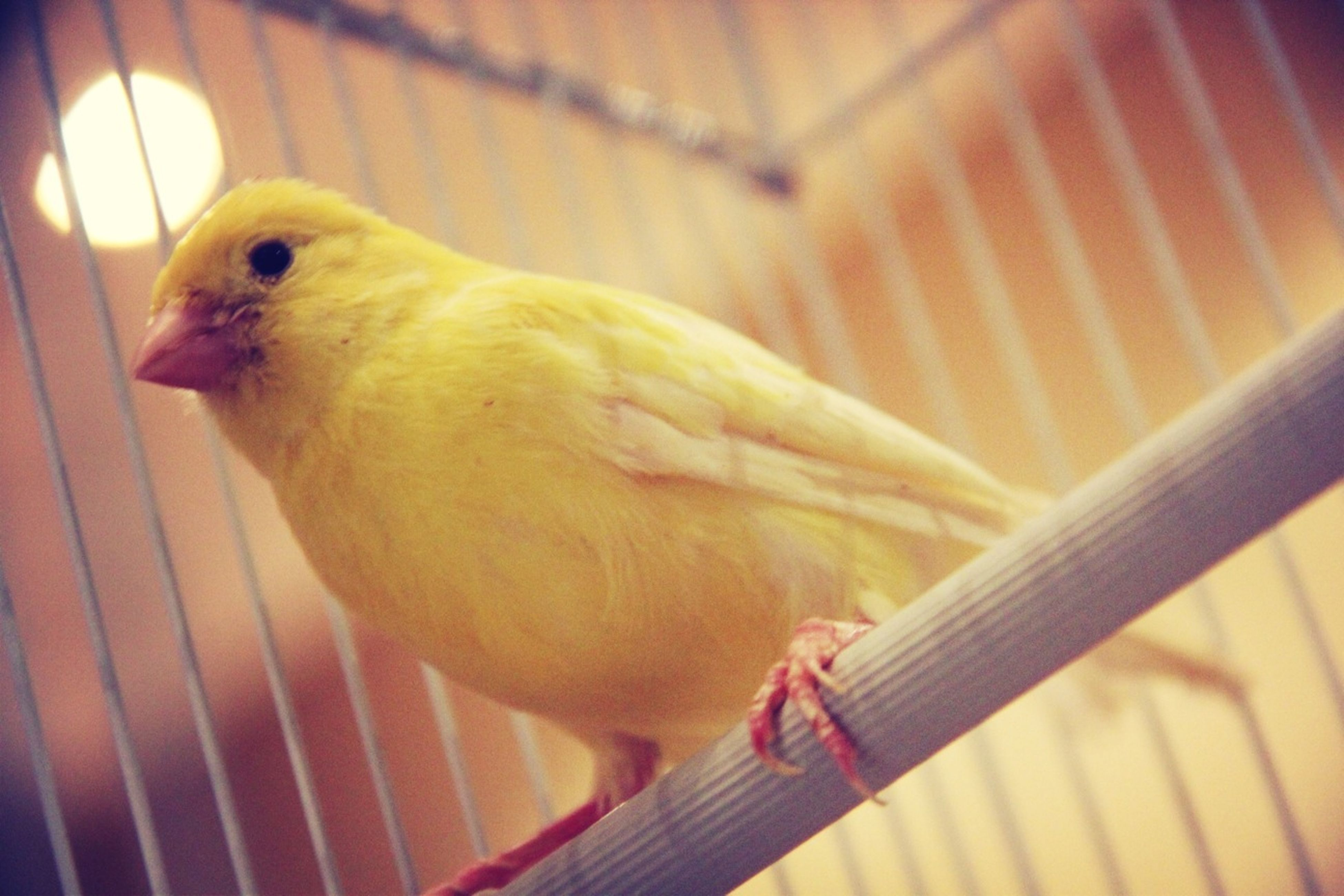 animal themes, one animal, bird, indoors, animals in the wild, parrot, wildlife, cage, close-up, perching, focus on foreground, beak, side view, full length, birdcage, animals in captivity, no people, wood - material, pets, looking away