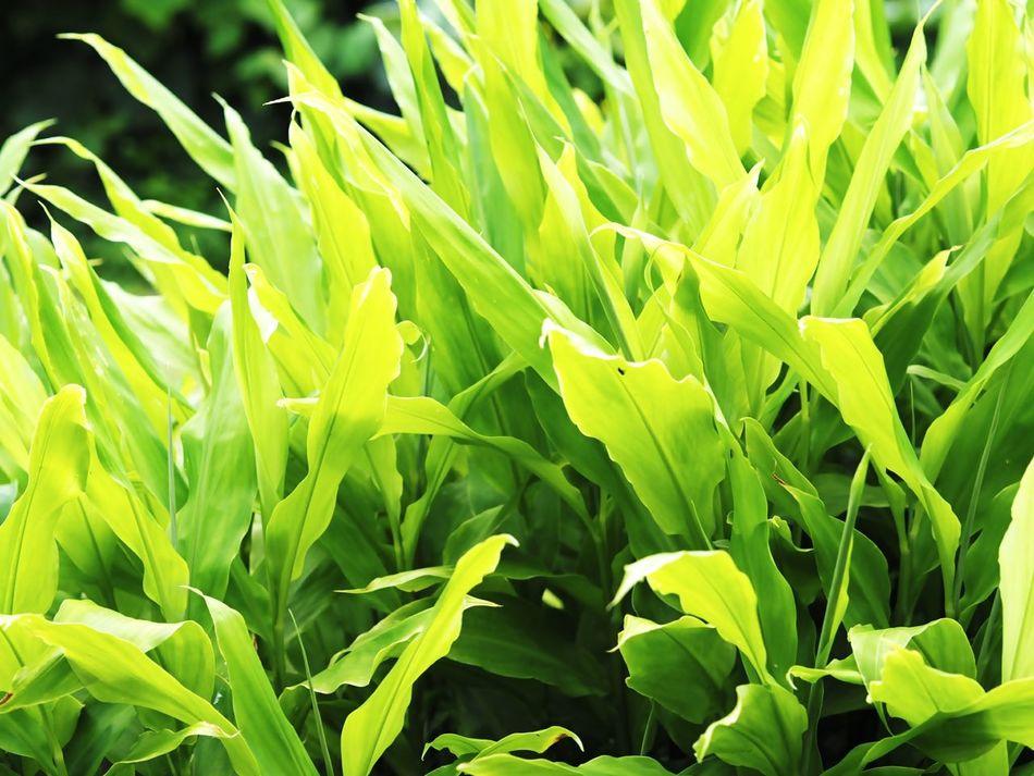 茗荷 ミョウガ 家庭菜園 Japan Hokkaido 北海道 Green Green Nature Nature Nature Photography Nature_collection Naturelover EyeEm Nature Lover ミラーレス Olympus OlympusPEN