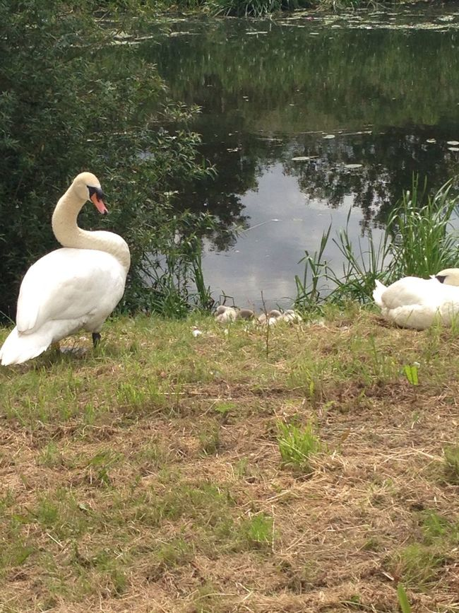 Animal Themes Bird Lake Wildlife Lakeshore Animals In The Wild Swans Signets Reflection Tranquility Nature Field Zoology No People Lakeside Water Bird Beauty In Nature Non-urban Scene