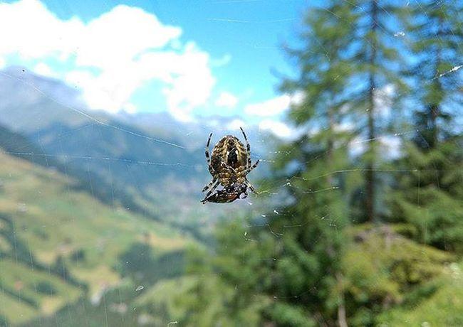 Nature Untouched Unedited Nofilter HTCDesireEye HTC Spider Atwork Food Protein Spiderweb Bug Adelboden Myadelboden Switzerland Exploreswitzerland Explore Naturelover