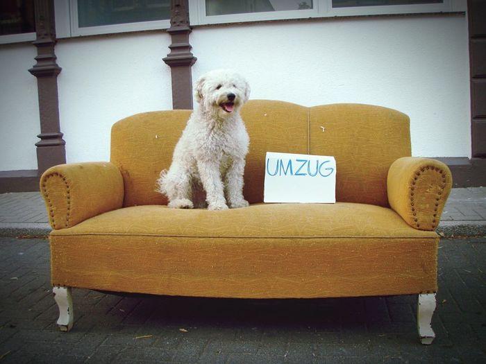 Puli hilft beim Umzug! Puli Dog Umzug EyeEmNewHere Pets Dog Armchair One Animal Sitting Chair Furniture Animal Domestic Animals Cute No People Animal Themes