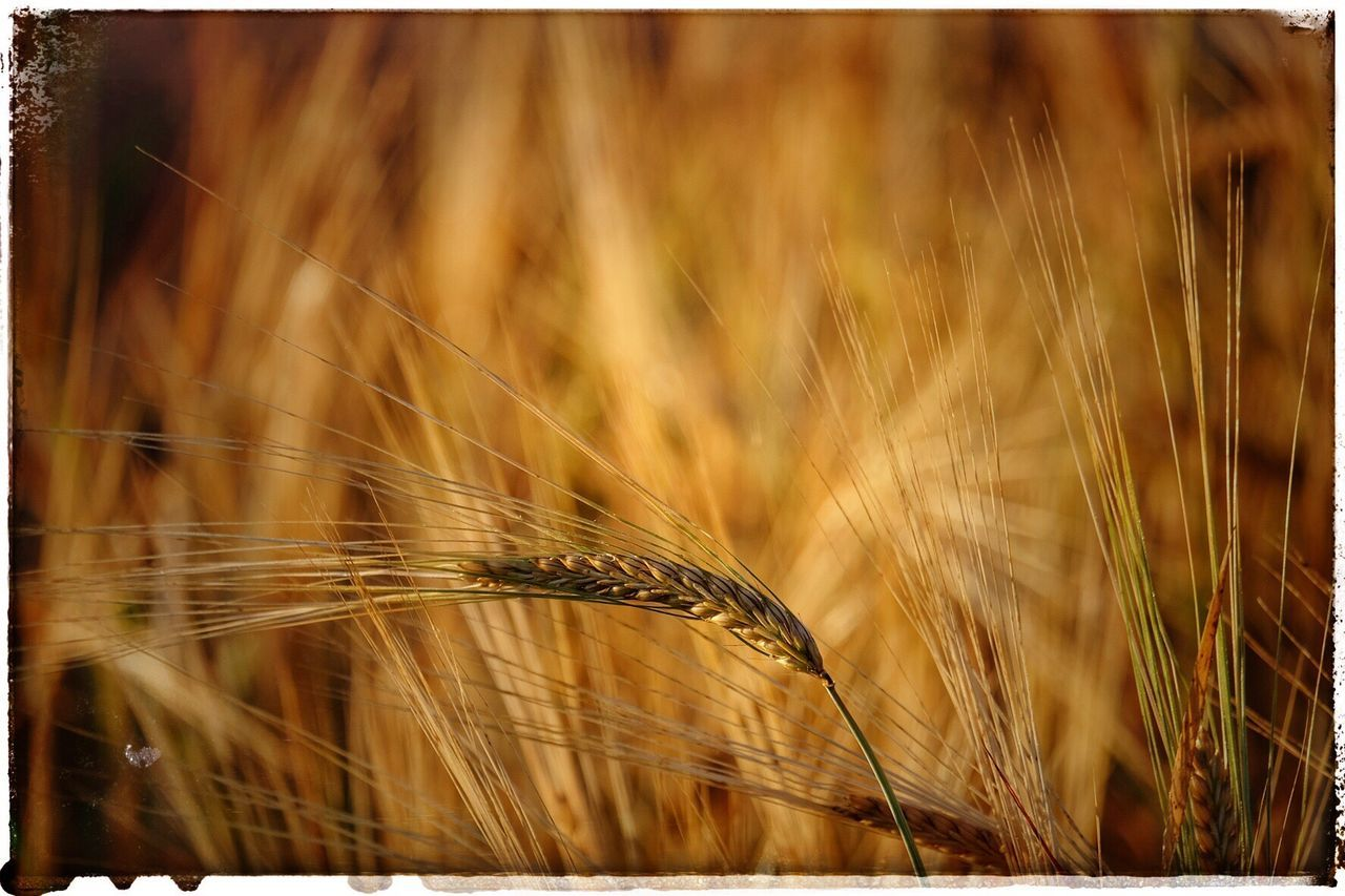 Korn Grain Gold Golden Golden Hour 43 Golden Moments Nature On Your Doorstep Beauty In Nature Beauty In Ordinary Things Showcase July Summertime Summer Taking Photos FUJIFILM X-T10