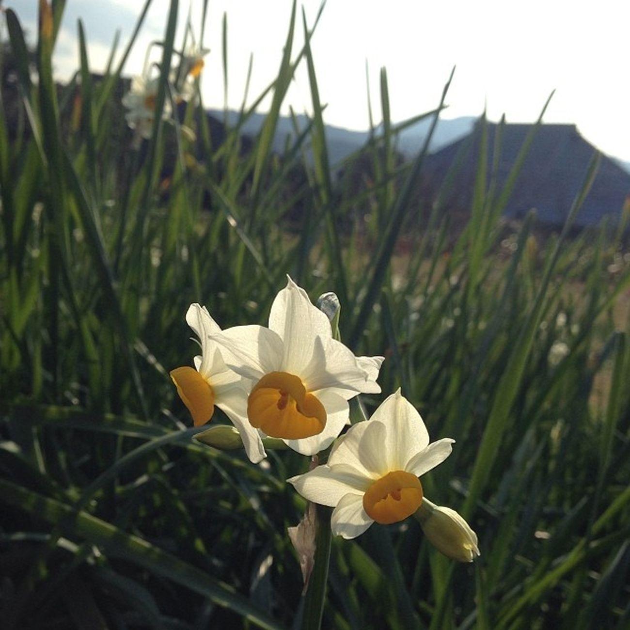 水仙の花は今が見ごろ。 小さな花は清楚だけれど、球根には猛毒。