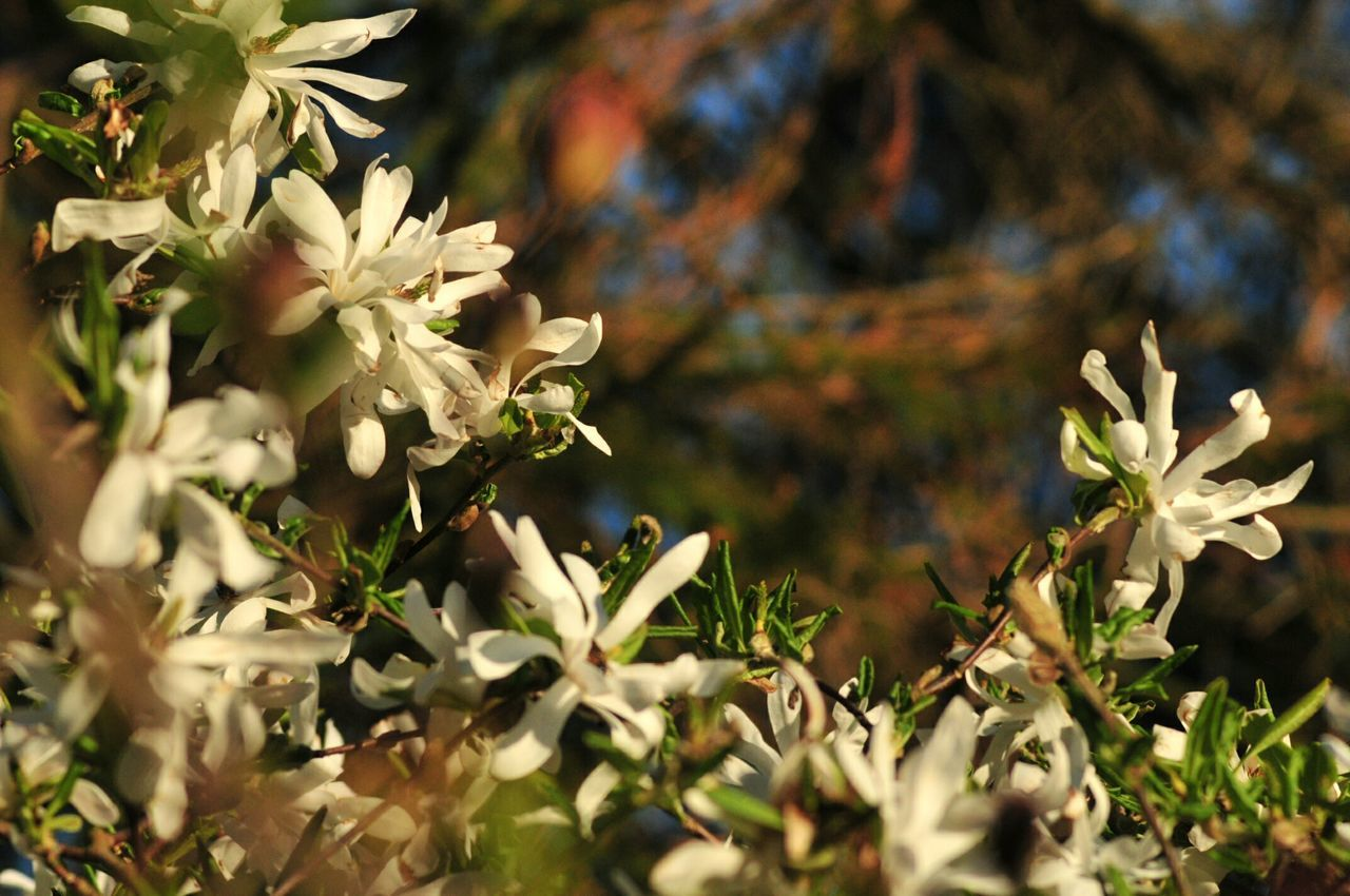 Close-Up Of White Flowers Against Blurred Background