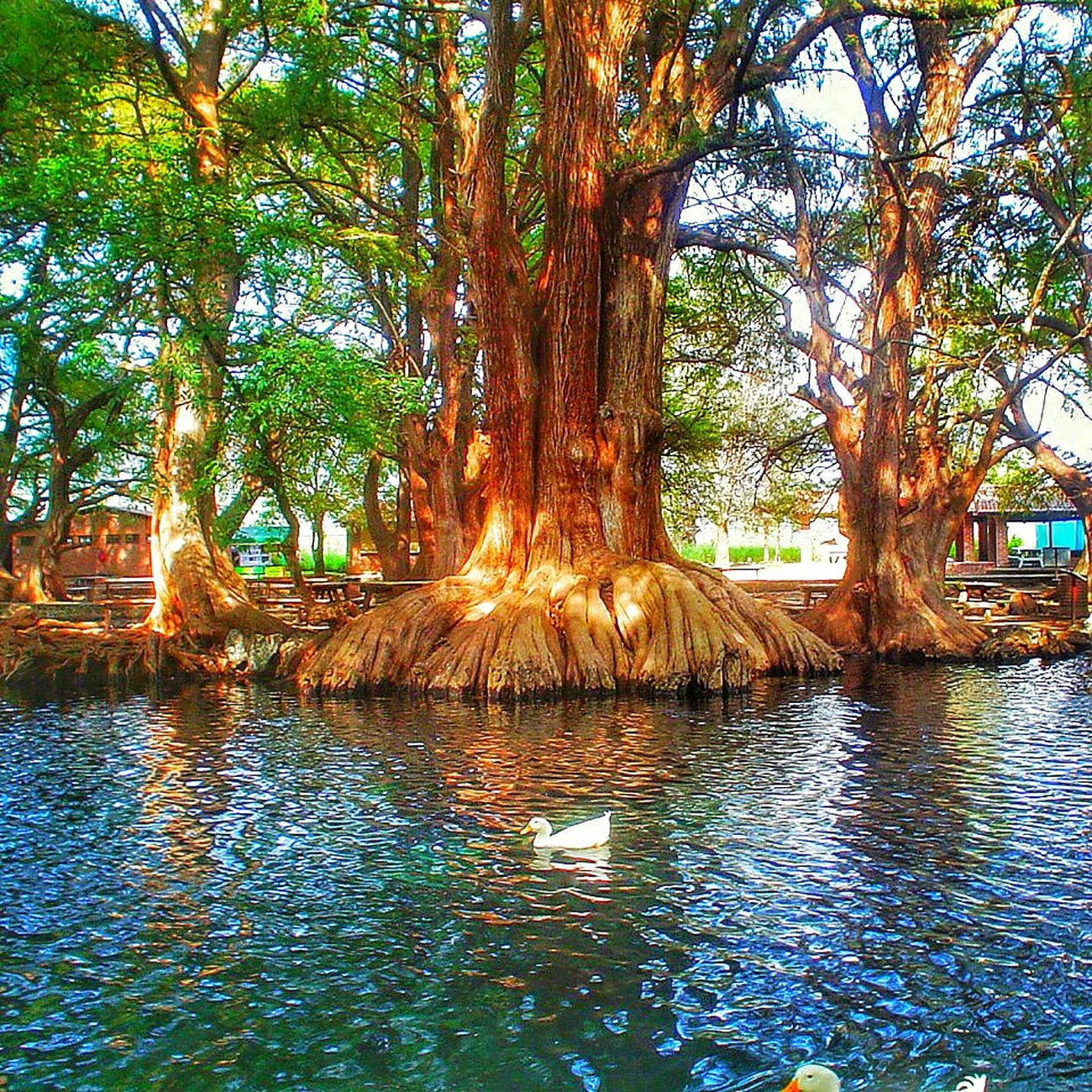 Camecuaro Camecuaro Michoacan Tree Trees Tree_collection  Trees And Nature Tree_collection  Water Reflections Water Reflection Watercolor Water Reflection Michoacan Michoacan, México Michoacan Mexico❤ Michoacan De Ocampo MICHOACAN✌😘💯 Mexicoandando Mexico_maravilloso Mexico Es Vida  Mexicolors Mexico Mexico Travel Mexico Una Mirada Al Mundo Mexicoalternativo