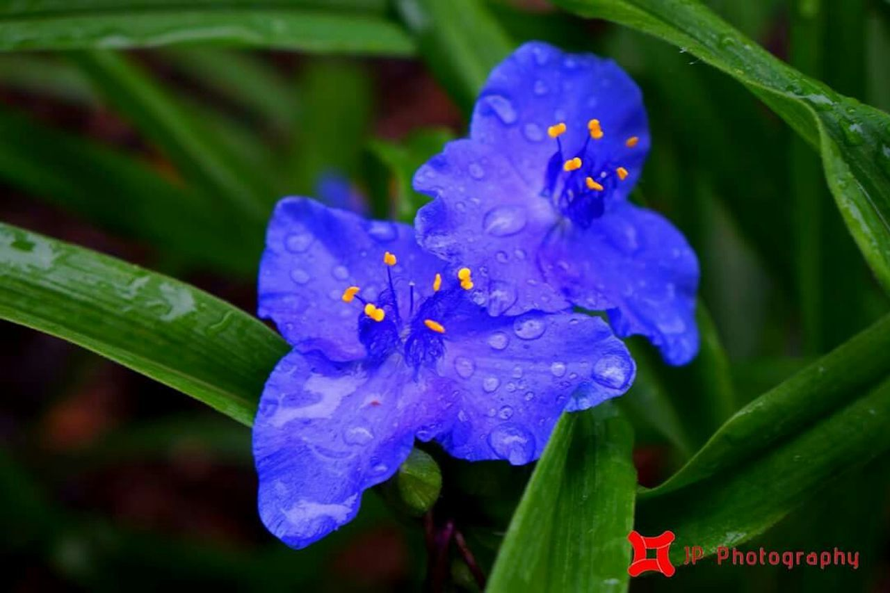 beauty in nature, flower, nature, growth, freshness, petal, fragility, outdoors, purple, flower head, drop, close-up, day, plant, no people, leaf, green color, blue, blooming