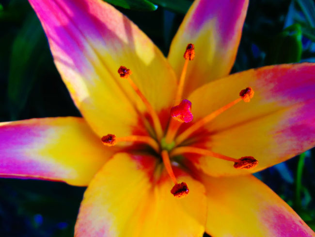 Tiger lily in my backyard Beauty In Nature Blooming Blossom Botany Close-up Day Flower Flower Head Focus On Foreground Fragility Freshness Growth In Bloom Macro Nature No People Outdoors Petal Pink Color Plant Pollen Selective Focus Stamen Tabphotography Yellow
