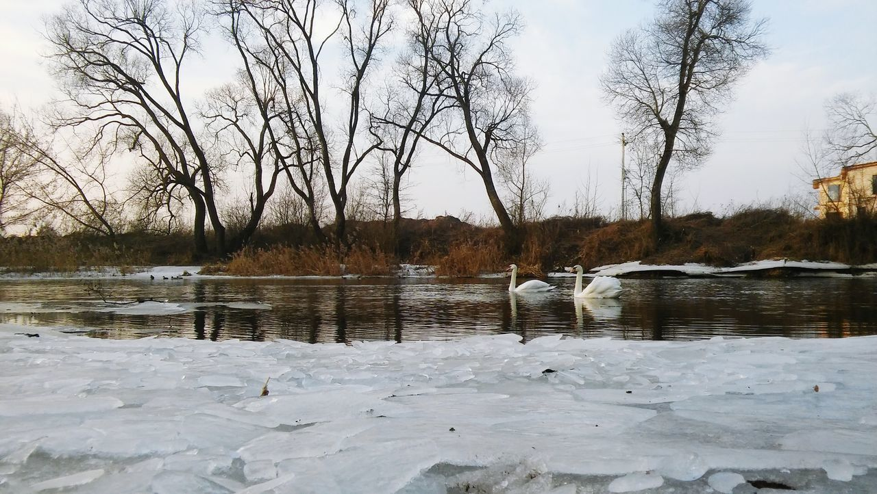 lake, animal themes, nature, animals in the wild, bare tree, tree, water, cold temperature, winter, bird, outdoors, snow, water bird, day, no people, animal wildlife, swan, beauty in nature, scenics, togetherness, swimming, sky, mammal