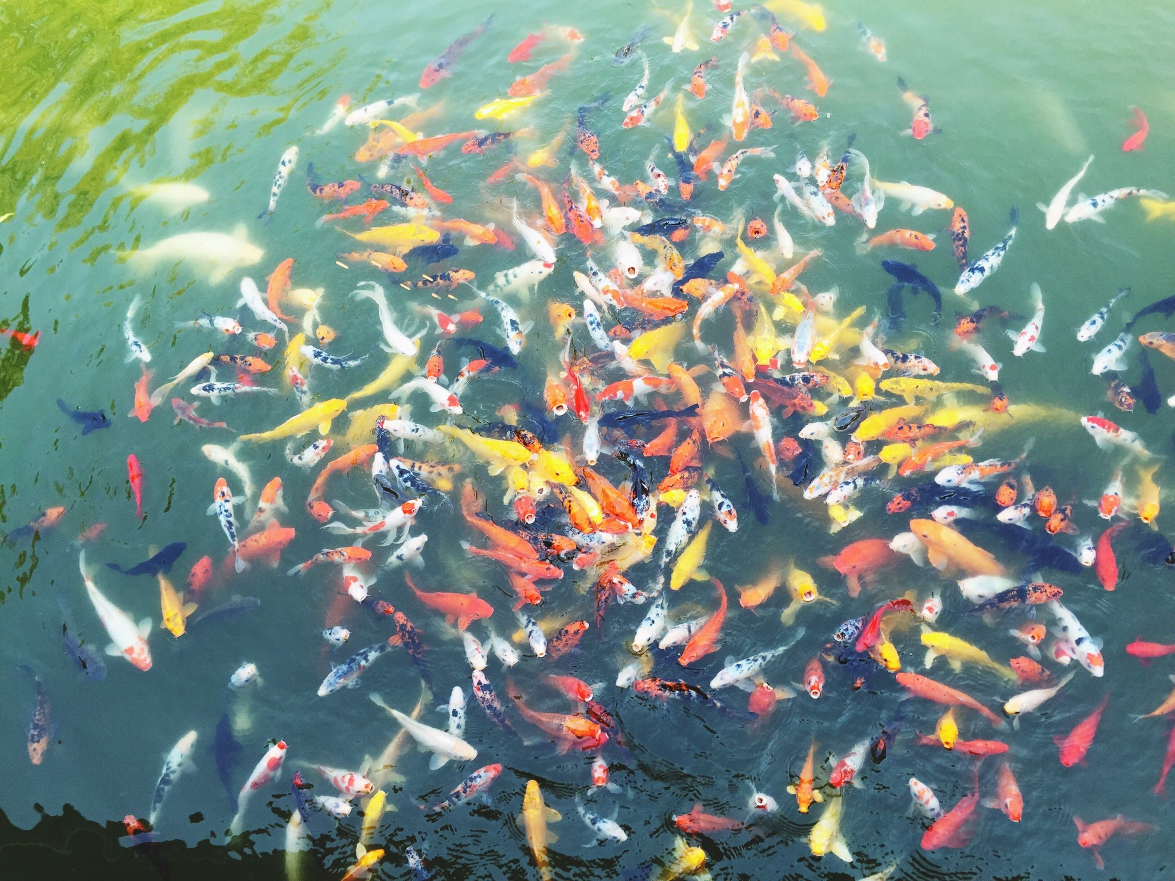water, high angle view, pond, swimming, fish, animal themes, reflection, floating on water, lake, nature, school of fish, waterfront, koi carp, animals in the wild, beauty in nature, leaf, outdoors, day, full frame