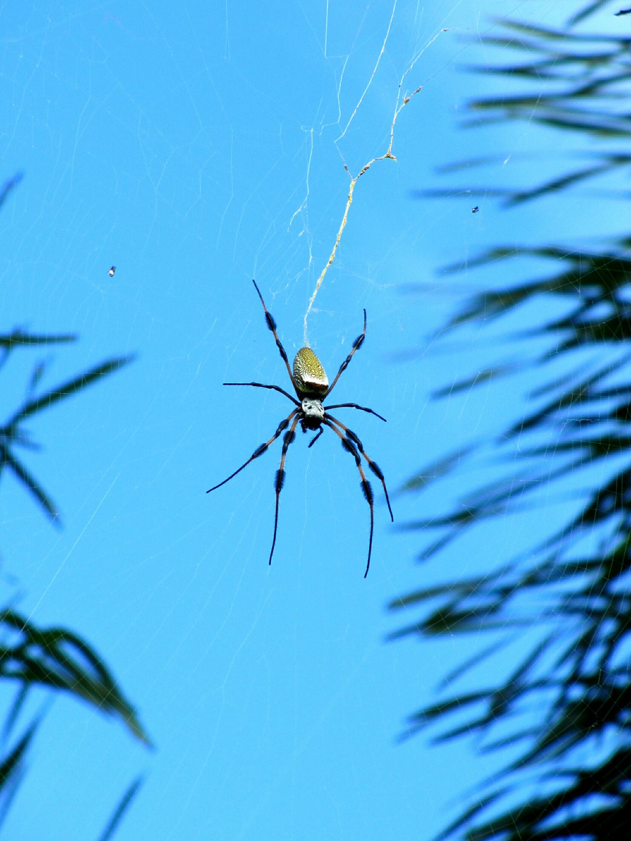 golden silk orb weaver... don't look up... Golden Silk Orb Weaver Banana Spider Spider Spiderweb Spiderwebs Blue Sky Spiders Insects  Arachnid