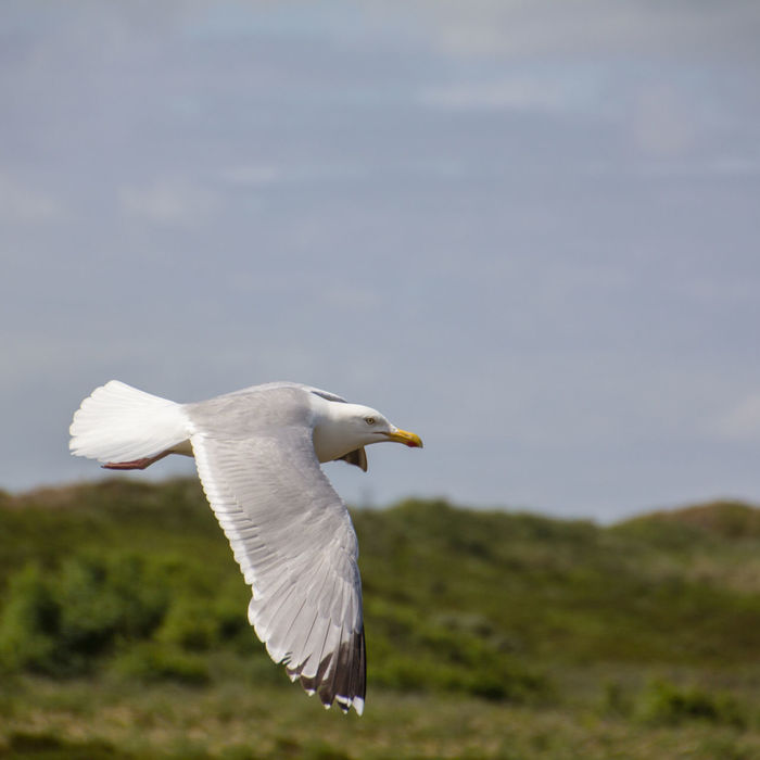 Animal Themes Animal Wildlife Animals In The Wild Beauty In Nature Bird Close-up Day European Herring Gull Flying Focus On Foreground Gull Larus Argentatus Mid-air Nature No People One Animal Outdoors Seagull Sky Spread Wings White Color