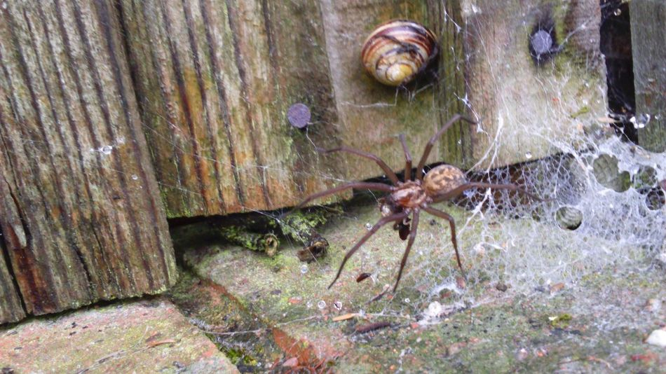 Snail Snail Shell Spider House Spider Common Web Spider Web Fence Nature Landscape Creepy Crawlies Scary Scary Spider Legs Lots Of Legs 8 Legs Eight Legs Creepy Crawly Spider In The Web Cobweb
