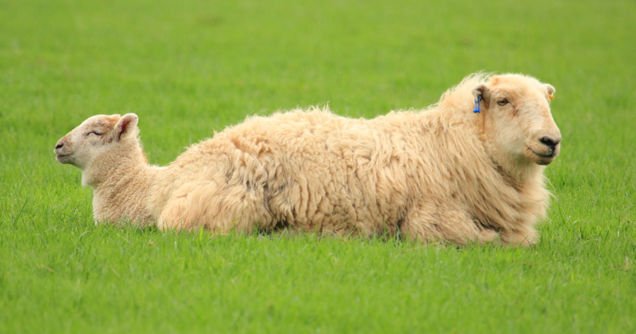 grass, animal themes, domestic animals, livestock, mammal, one animal, green color, field, sheep, outdoors, day, nature, no people, highland cattle