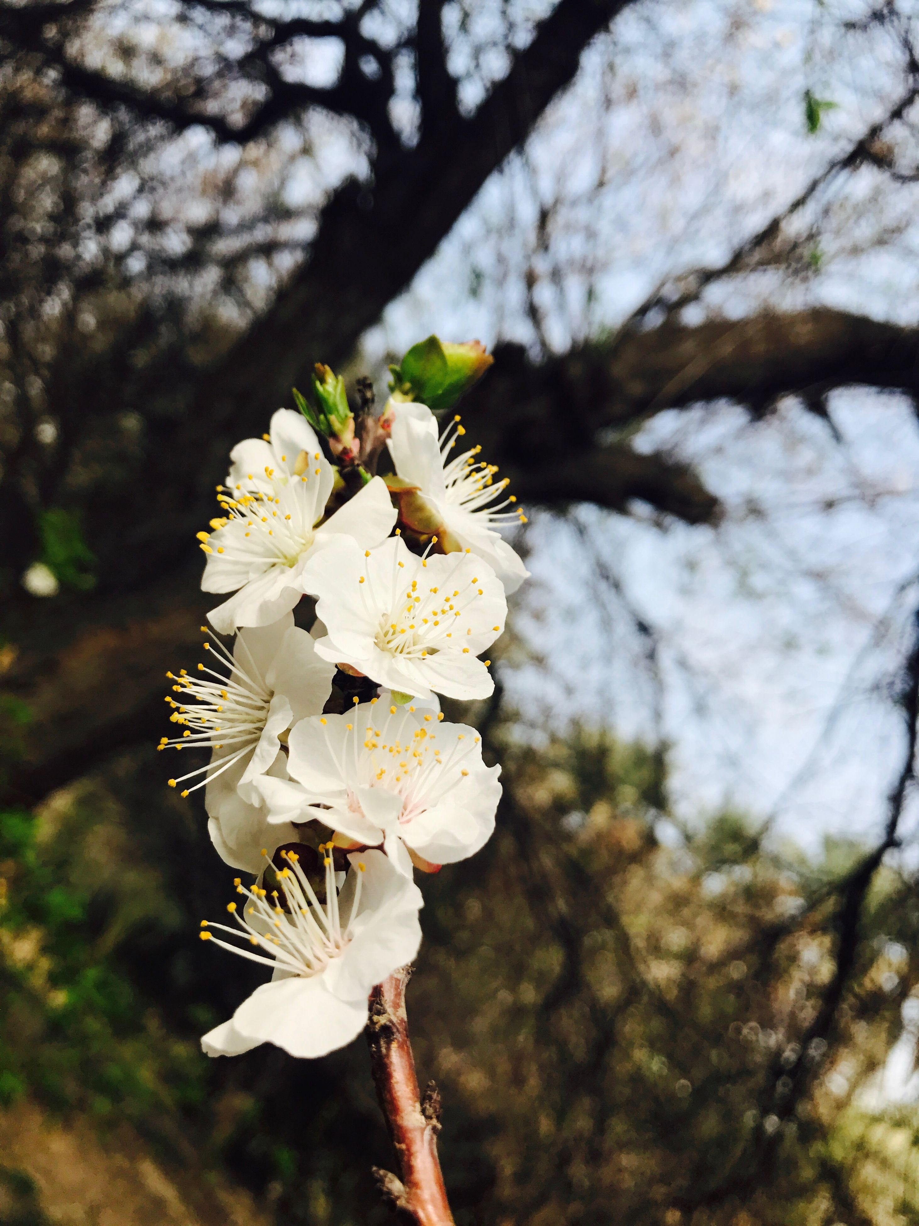 flower, nature, white color, blossom, beauty in nature, growth, branch, tree, springtime, focus on foreground, fragility, twig, outdoors, no people, freshness, flower head, day, close-up, plum blossom