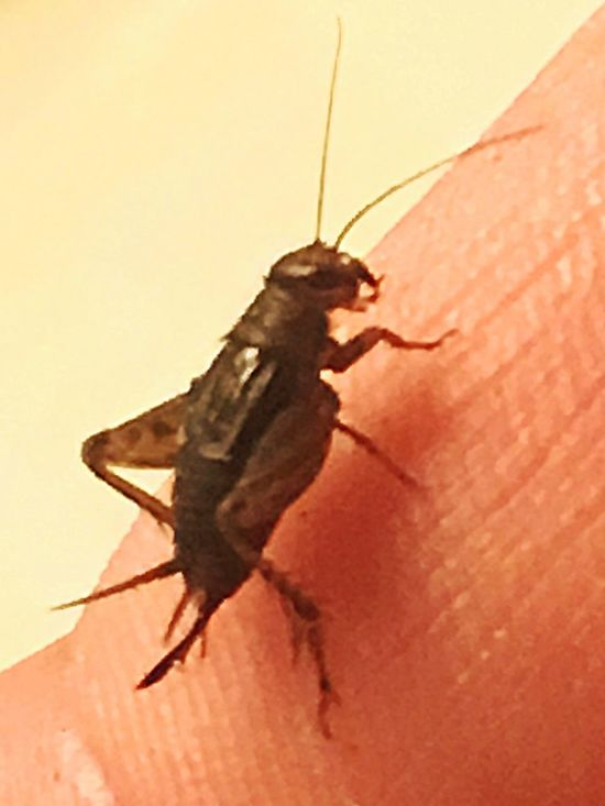 Just A Baby Cricket Fish Bait Better Hop Hop Along !