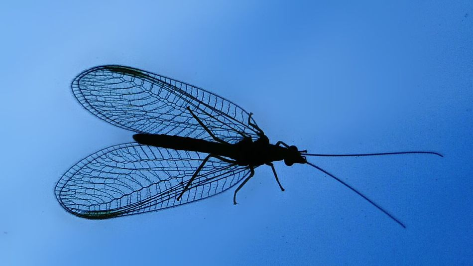 Insect Day No People Blue Sky Shillouette Florfliege Chrysopidae Neuroptera Welcome To Black