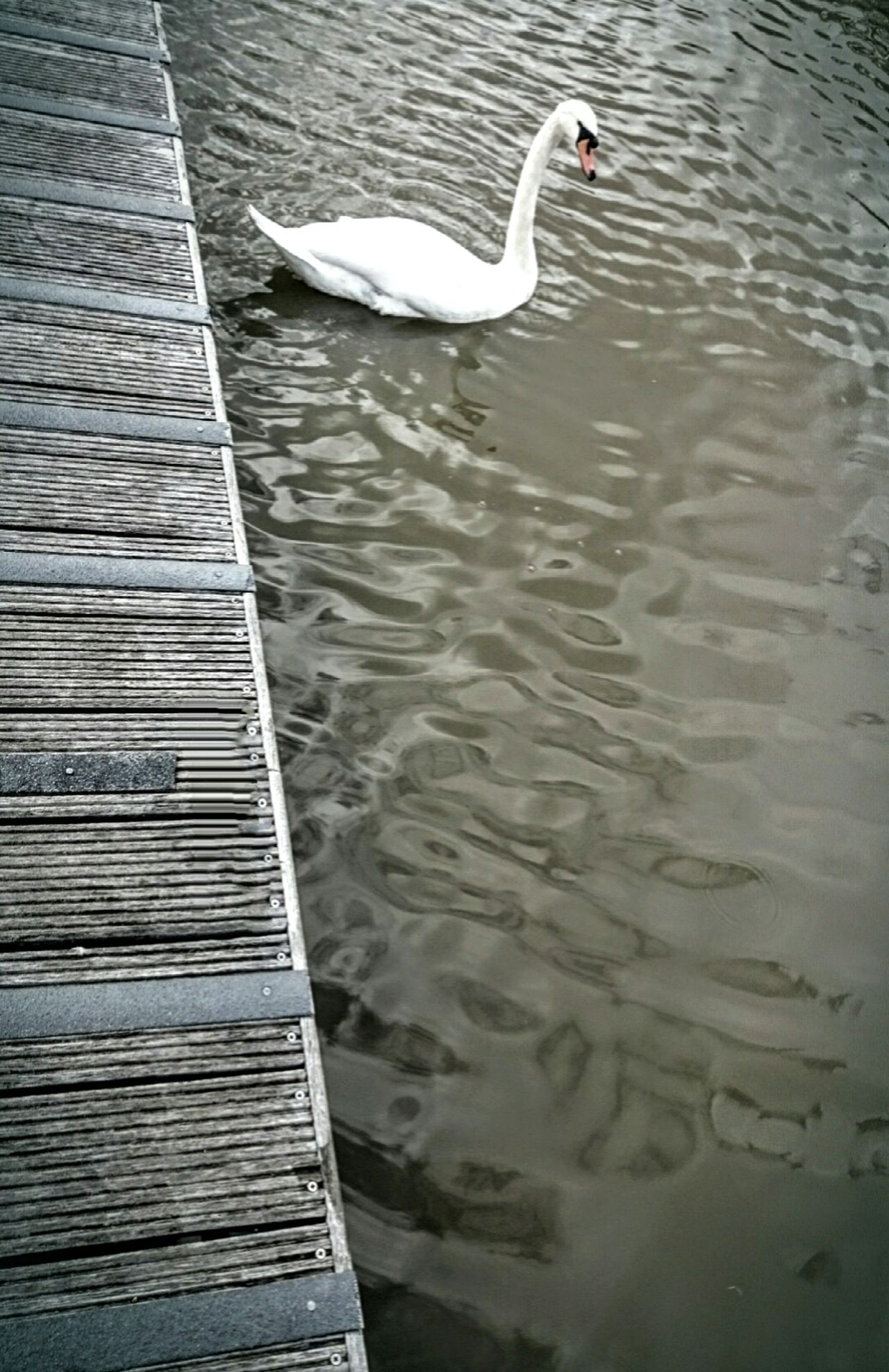 💙 GREY Taking Photos Check This Out Grey Water Swan First Eyeem Photo Naturelovers Photoofnature Nature On Your Doorstep EyeEm Gallery No People No Colors City Escape Eyem Collection Lonely Loneliness One Bridge Summer Surface Wooden Color Palette Tranquility