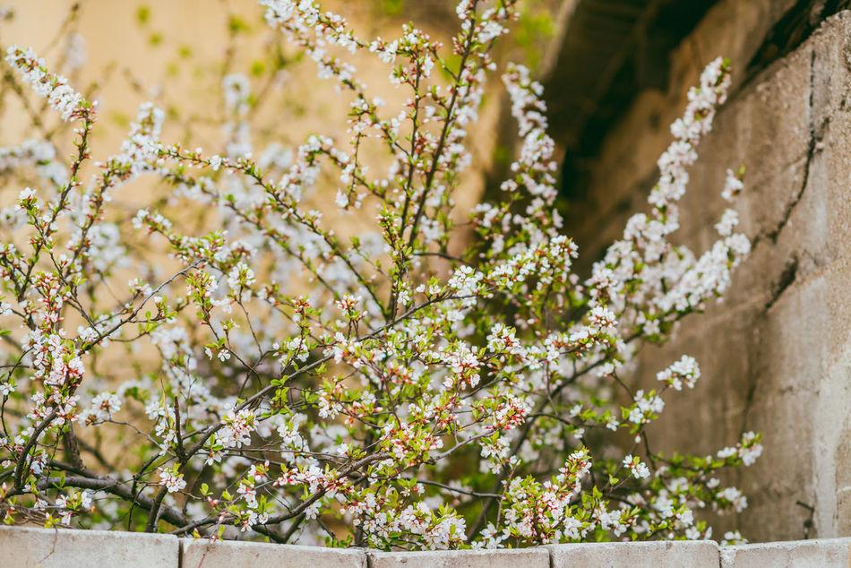 Spring Blossoms Blossom City New Season Spring Blossoms Springtime White