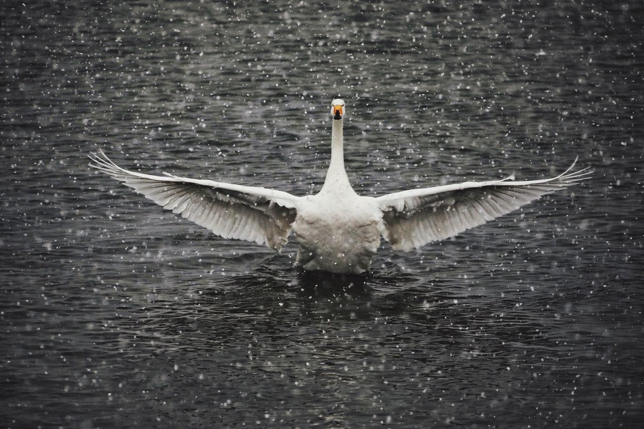 animal themes, one animal, animals in the wild, bird, waterfront, water, spread wings, lake, animal wildlife, no people, nature, day, outdoors, swimming, full length, swan, close-up