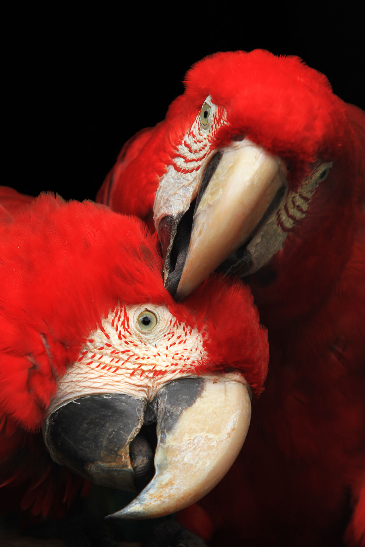 Macaw Animal Themes Animals In The Wild Aves Aves 🐥🐤🐥 Beauty Bird Birds_collection Black Background Close-up Colour Looking At Camera Love Macaque Macaw Nature No People Outdoors Parrot Pretty Red Scarlet Macaw Songbird  Togetherness