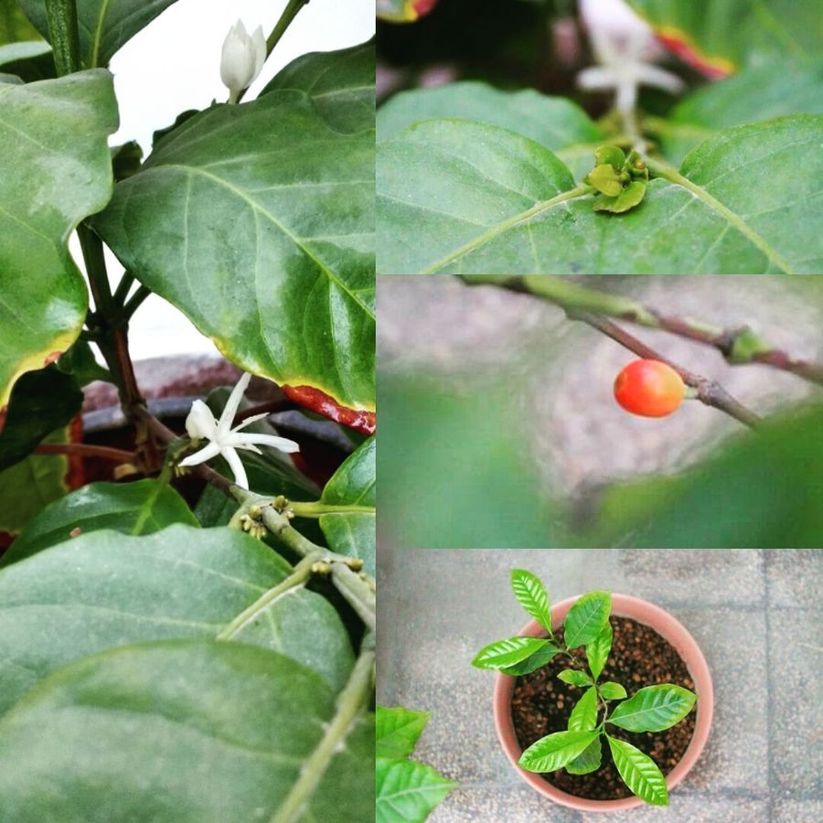 Colour Of Life Colours Of Nature Nature Photography Nature Coffee Plant Cafeto Arabicacoffee Gesha Plant Relaxing Relax Cafe Hidden Gems  Photo Home Is Where The Art Is Peru Lima