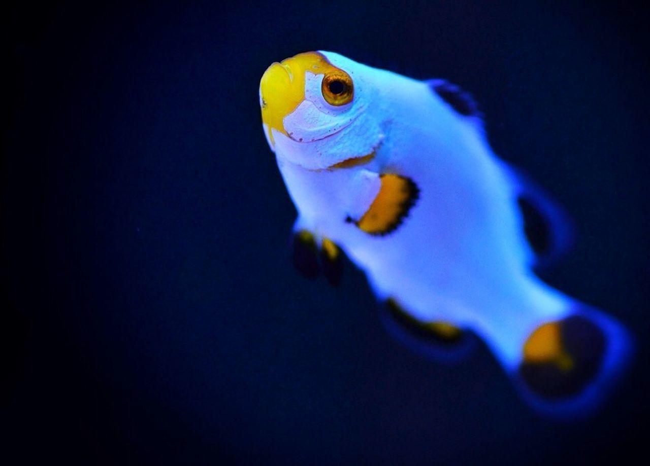 underwater, one animal, animal themes, sea life, swimming, fish, animals in the wild, animal wildlife, water, undersea, clown fish, no people, aquarium, close-up, yellow, sea, indoors, nature