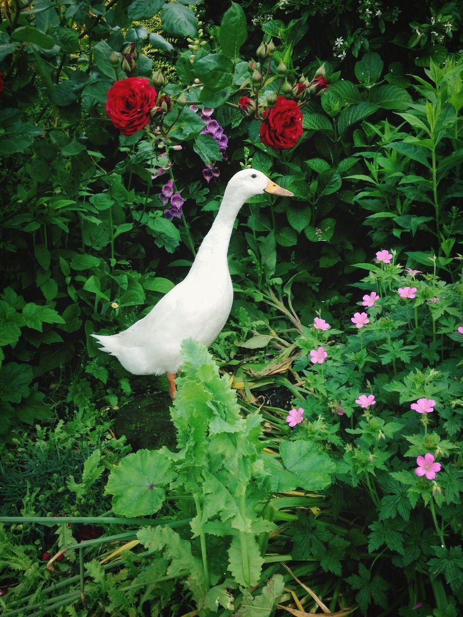 Quack quack. Flowers Taking Photos Nature Ducks