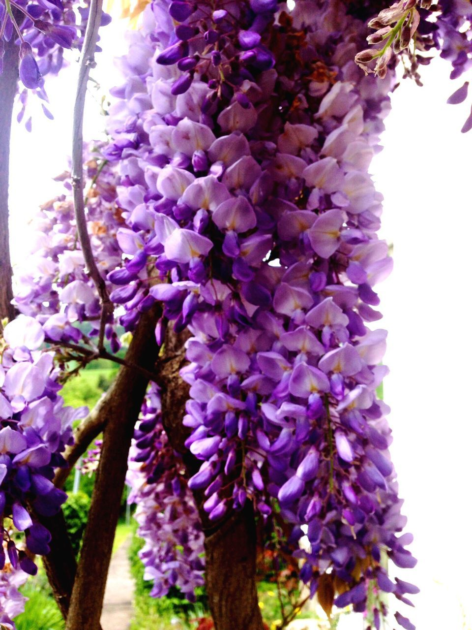 flower, purple, wisteria, fragility, growth, freshness, blossom, springtime, beauty in nature, lavender colored, nature, botany, no people, branch, scented, tree, day, petal, close-up, low angle view, lilac, hanging, outdoors, flower head