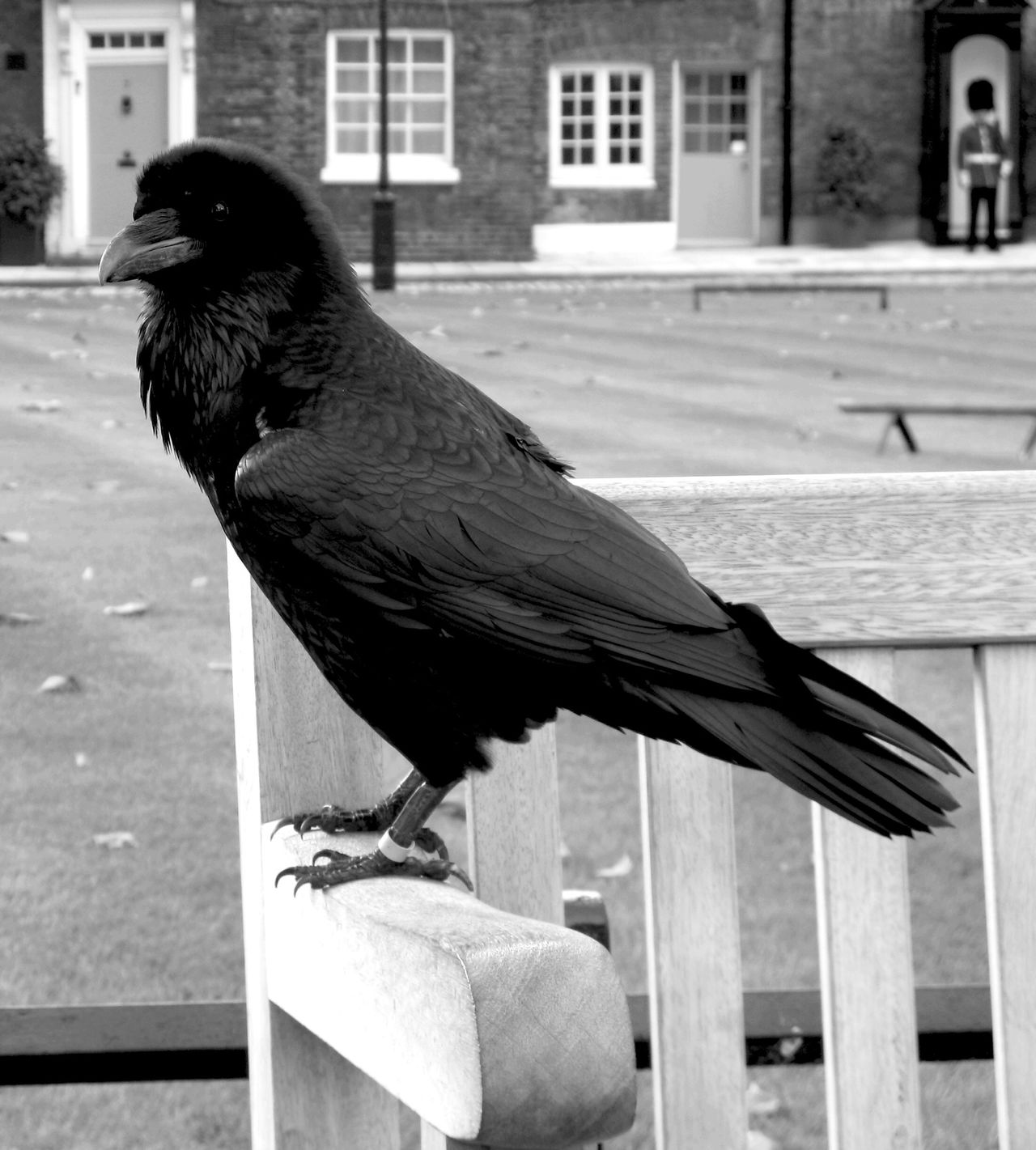 Guard Duty Guard Duty Tower Of London Raven London Bird Black