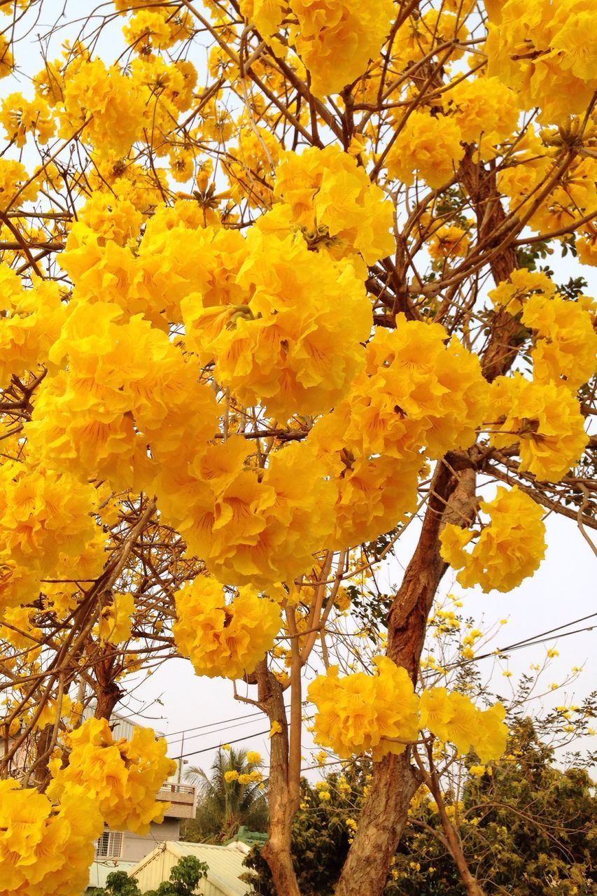 yellow, tree, autumn, beauty in nature, nature, leaf, branch, growth, low angle view, outdoors, no people, day, change, flower, fragility, freshness, close-up, sky