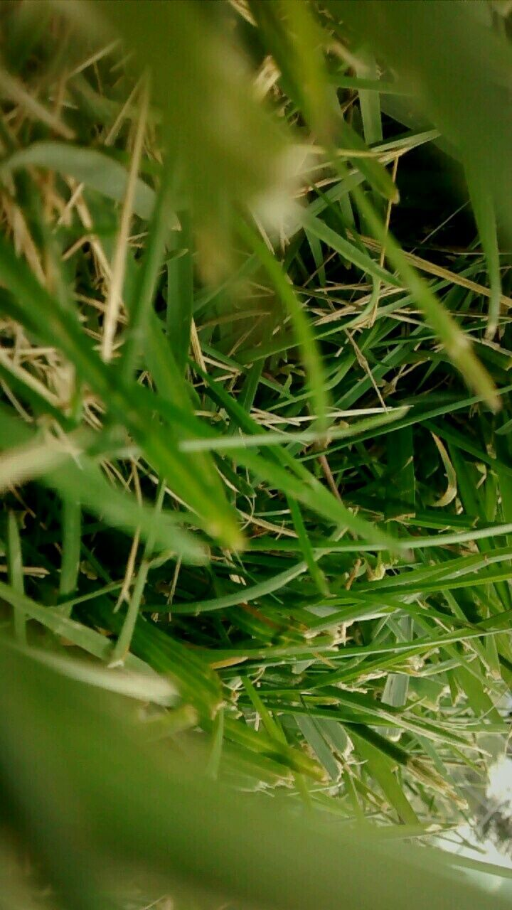 green color, growth, plant, grass, nature, day, close-up, no people, outdoors, beauty in nature, freshness