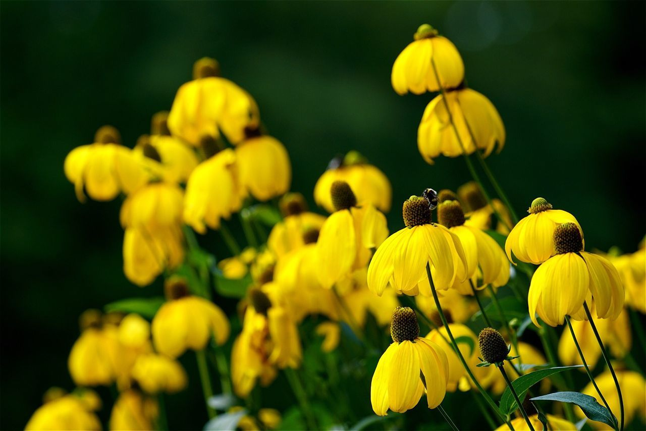 Tadaa Community No People Flower Yellow Blooming Outdoors Flower Head Open Edit Black-eyed Susan Sonnenhut Beauty In Nature