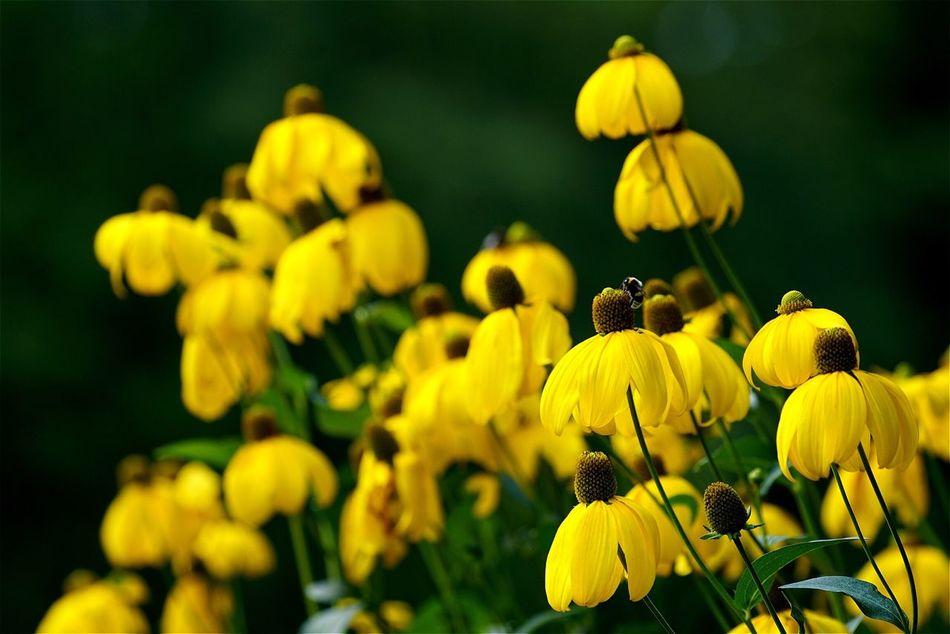 Tadaa Community No People Flower Yellow Blooming Outdoors Flower Head Open Edit Black-eyed Susan Sonnenhut Beauty In Nature