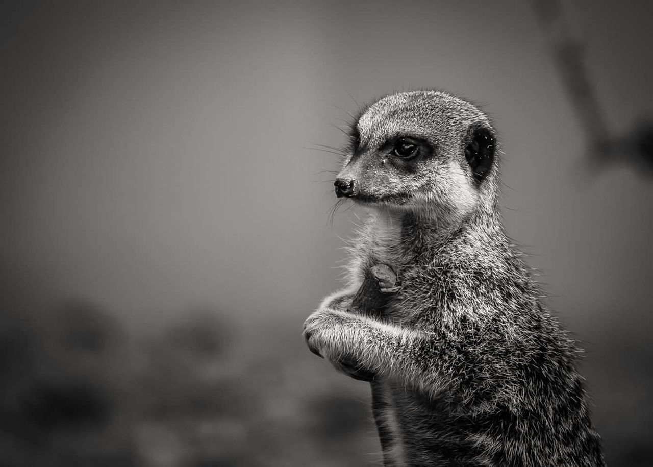 Black And White Zoo Animals  Animals In Captivity Zoo Animals  Animal Wildlife Animal Markings Marwell Zoo Mammal Meerkat